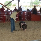 Tyler Showing His Pig At Grant County Fair
